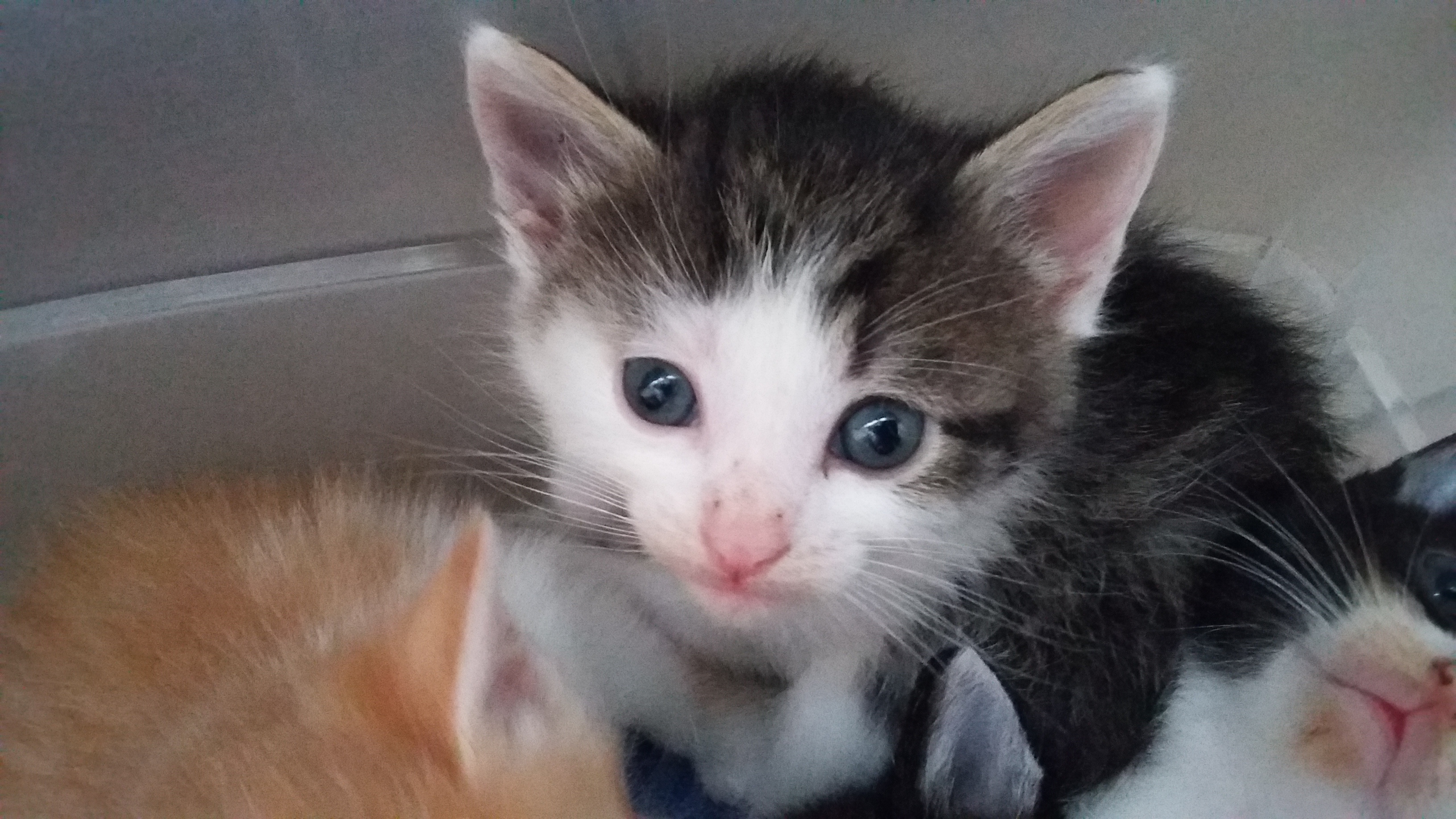 Reste 2 Chatons Males A Adopter Tous Adoptes Chat L Heureux